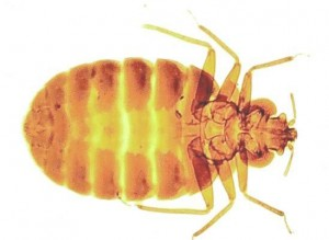 Bed Bugs-Pest Control Bedford