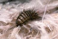 Carpet Beetle-Pest Control Bedfordshire