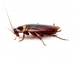 Cockroach Removal-Pest Control Bedford