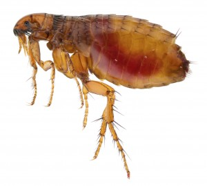 Flea fumigation in Bedfordshire