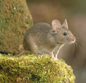 Mice Control Sharnbrook