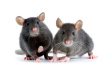 Mice Removal-Pest Control Bedfordshire