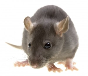 Rat-Pest Control Bedford