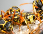 Wasp Nest Removal - Pest Control Bedford