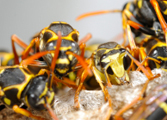Wasps-[keyword strong=false link=false]