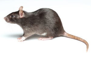 Rat Control bedfordshire